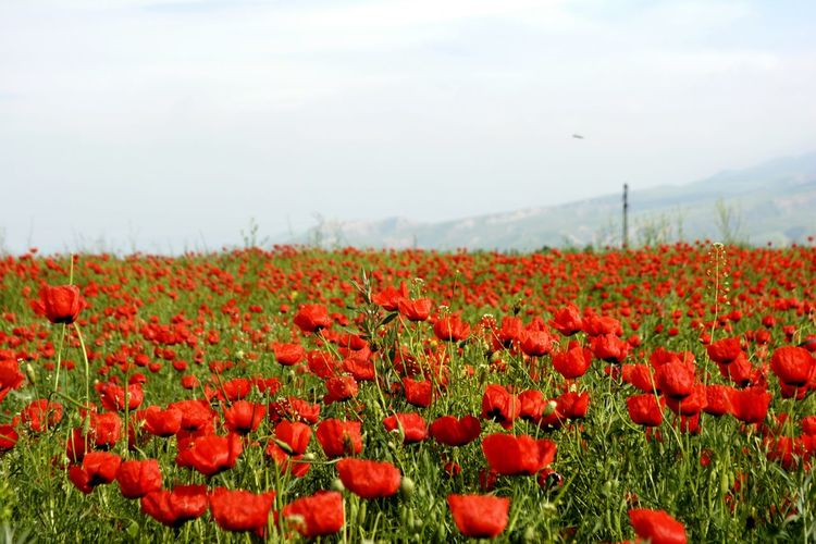 Red Poppies Growing In Field Against Sky