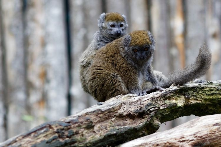 Watcha Lookin' At? Monkey Business A Day At The Zoo Animal Wildlife Animal Themes Animal Vertebrate Tree No People