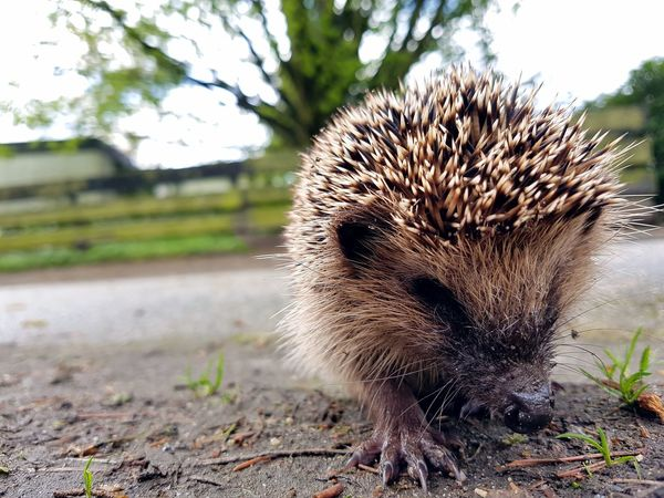"""""""I met a little hedgehog today."""" Hedgehog One Animal No People Outdoors Nature Close-up Mammal Animal Themes Enjoying Nature Outdoor PhotographyAnimal Photography Cute Pets Domestic Animals Cute Animals Enjoying The View Photography Outside Pets Cute Wild Animal Grass Pet Portraits Little Hedgehog Day The Week On EyeEm"""