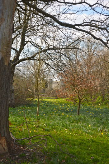Distant view of castle through the trees across a field of daffodils Bare Tree Beauty In Nature Branch Castle View  Daffodils DISTANT CASTLE VIEW Early Spring Flower Grass No People Outdoors Rural Scene