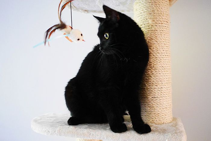Domestic Cat Feline Mammal Pets Animal Themes Domestic Animals Black Color One Animal Cat Sitting No People Indoors  Day White Background Close-up Black Cats Whisker Portrait Black Pet Kitten Curiosity Playing Playful Indoors