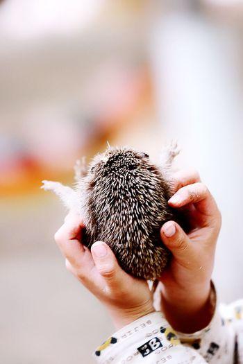 Close-up of hands holding hedgehog