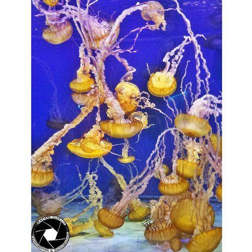 Beautiful Weirdness. Jellyfish Aquarium Aquariumofthepacific Photooftheday marinelife