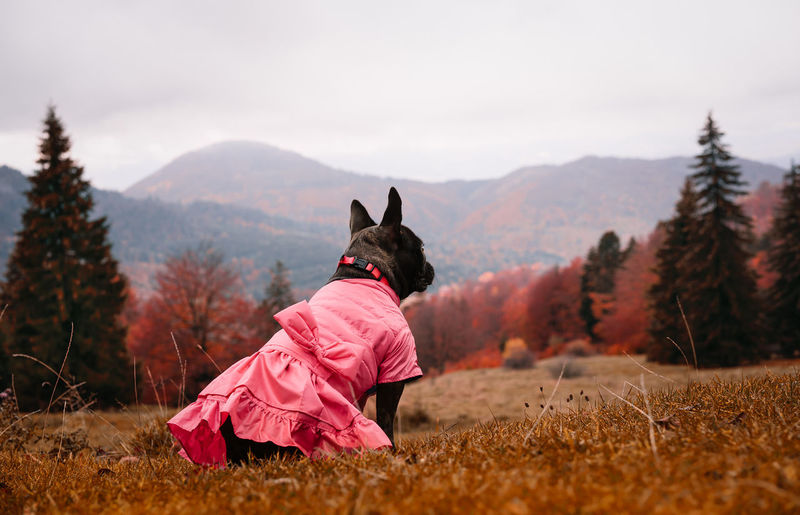 View of a french bulldog dog with pink dress on the field against mountains in autumn