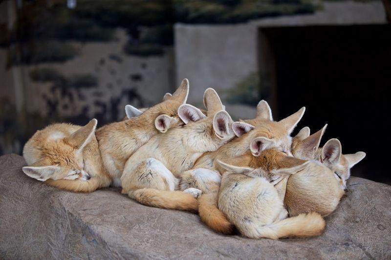 阔耳狐 EyeEm Selects Animal Animal Themes Relaxation Animal Wildlife Animals In The Wild Mammal No People Vertebrate One Animal Resting Focus On Foreground Nature Lying Down Day Close-up Outdoors Comfortable Sand Sunlight