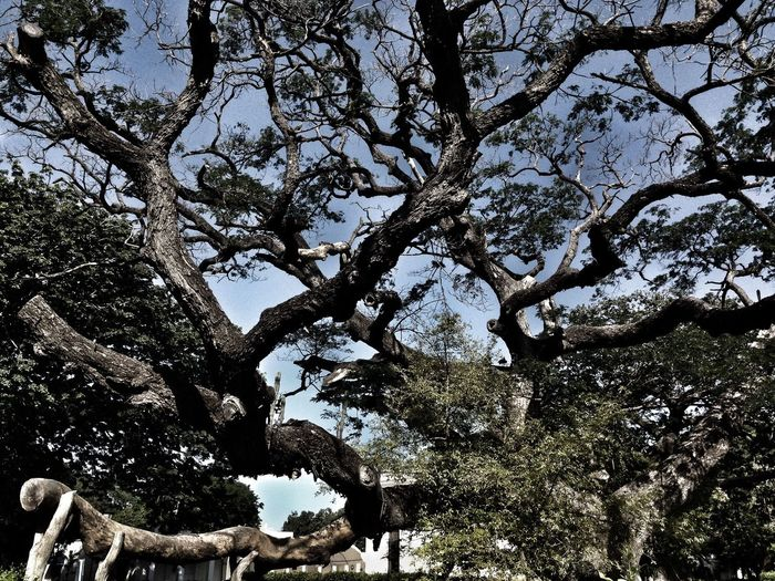 Tree Low Angle View Branch Sky Nature Outdoors Growth No People Day Beauty In Nature Huge Colombia ♥  Beauty In Nature Animals In The Wild Nature
