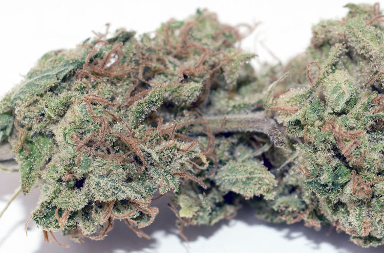 420 ICMAG 2015 Breeders Cup - Best Sativa No.1 - Supersonic by 420 420 Smoker 420life Alternative Medicine Amsterdam Breederscup Canabis Cannabis Cannabis Plant Cannabiscup Close-up Focus On Foreground Green Color Herbal Medicine Marijuana - Herbal Cannabis No People Studio Shot Weed Weed Life