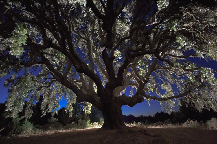 Tree against sky at night
