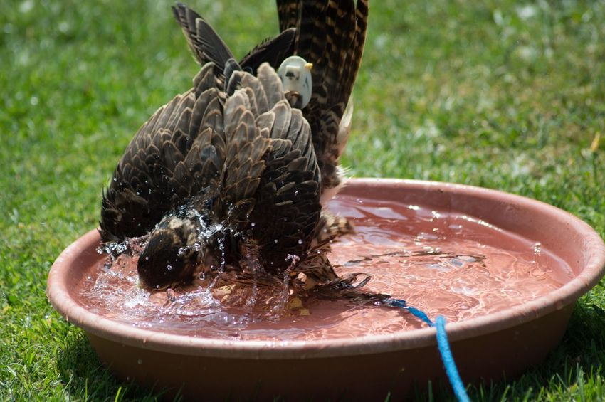 Bird Photography Bird Bath Cooling Off Peregrine Falcon Falconry EyeEm Selects Water Splashing Droplet Spraying Motion High-speed Photography Drinking Fountain Dripping Wet Washing Drop