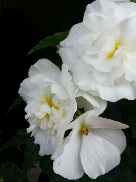 Flower Flower Head White Color Petal Close-up Black Background Nature Peony  No People Fragility Beauty In Nature Day Outdoors Freshness Begonia Begonia Flower Begonia Rex Begonia Flower Garden Begoniaceae