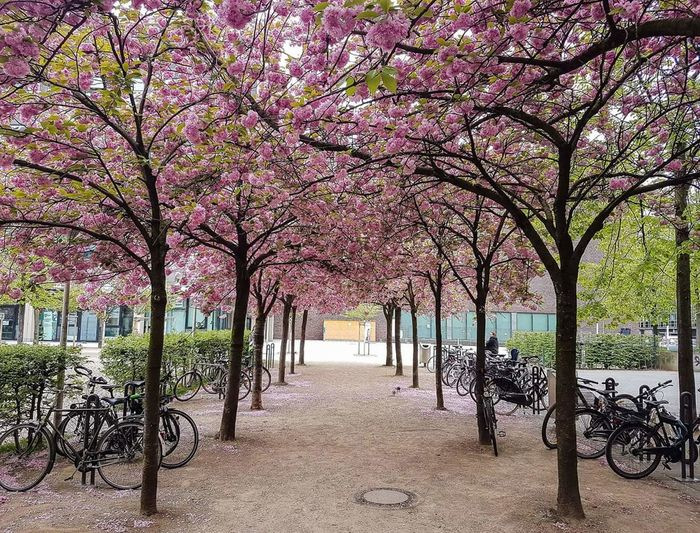 Tree Nature Beauty In Nature Outdoors In A Row Flower No People Samsung Galaxy S7 Samsung S7 Edge Cologne , Köln,  Köln Nature Cherry Blossom Germany