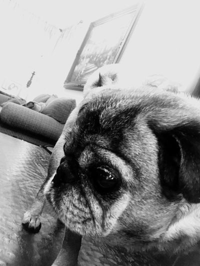 Pugs Pets One Animal Dog Domestic Animals Animal Themes Indoors  Mammal Close-up No People Home Interior Portrait Day Nature