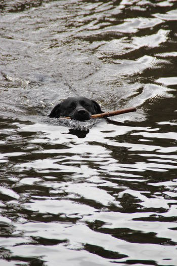 Animal Themes Animal Wildlife Animals In The Wild Beauty In Nature Bird Day Fast Swimmer Fetching A Stick Labrador Retriver Mammal Nature No People One Animal Outdoors Swimming Water Waterfront