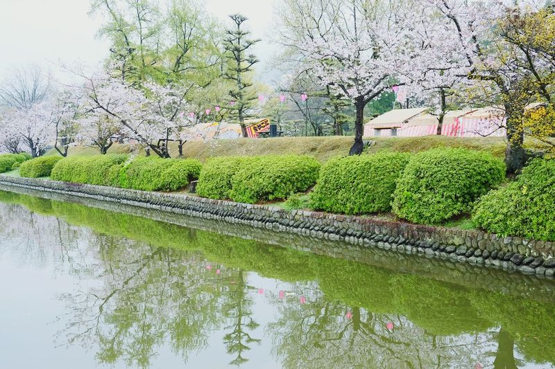 道後公園もそろそろ満開。 Cherry Blossoms Reflection Water Tree Nature Beauty In Nature Growth Flower Outdoors Green Color No People Tranquility Day