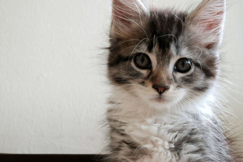 Domestic Cat Pets Domestic Animals Feline Animal Themes One Animal Mammal Portrait Indoors  Whisker Looking At Camera Close-up No People Day Pet Portraits Love Happiness Cute Photography Nature Animal Beauty Sweet Sweetness Beauty In Nature