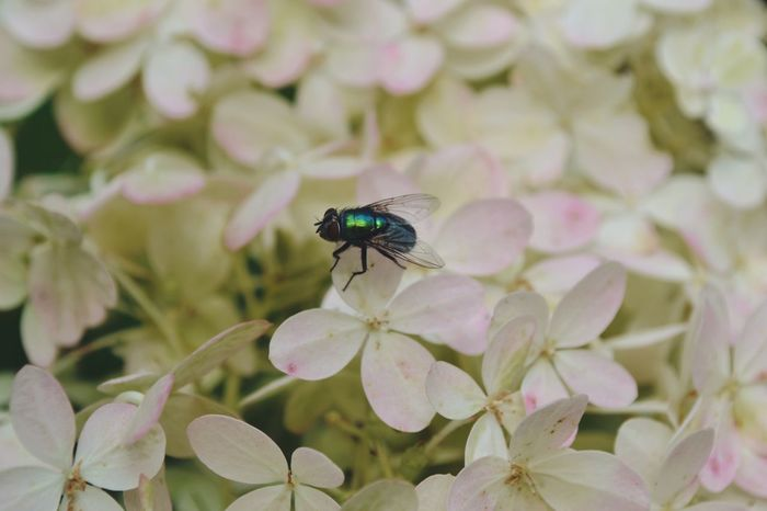 Flowers,Plants & Garden Fly Animal Themes Close-up Flower Flower Head Green Fly Insect Nature Outdoors Petal White