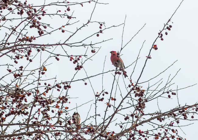 Berries Bird Bird In A Tree Bird Photography Bird Watching Birdwatching Branch Branches Finch Finches Lookingup No People One One Animal Perching Red Red Bird Showcase: February Sparrow Tree Trees Up Winter Winter Wonderland Wintertime