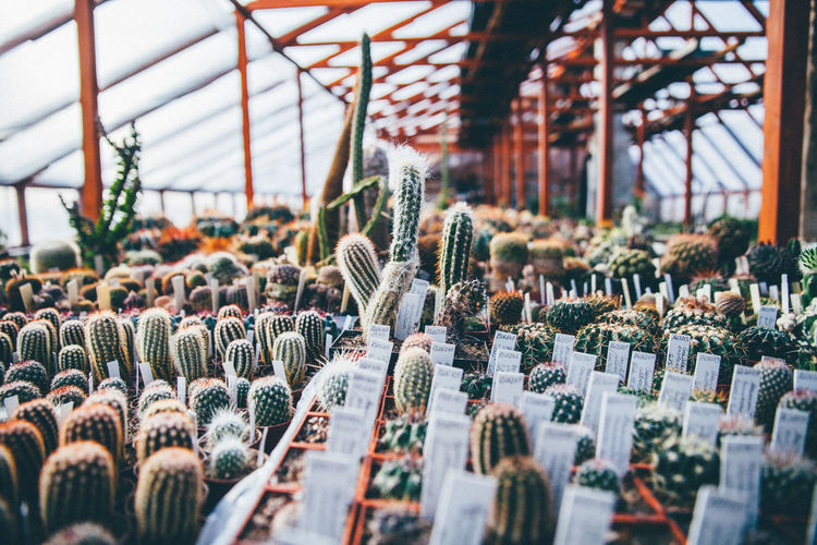 Various Potted Cactuses Arranged In Greenhouse
