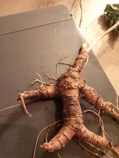 Roots Ginseng mamsing Mansing Root this is absolutely perfect root. can you see its face? roots Wild Ginseng