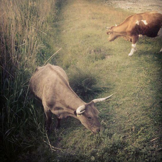 Tehenészés, kérődzés a Kiskunságban Puszta Cow Animals