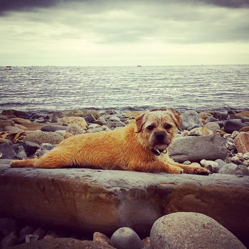 Animal Animal Photography Border Terrier Borderterrier Dog Looking At Camera Outdoors Salty Sea Dog Sea Seaside Terrier