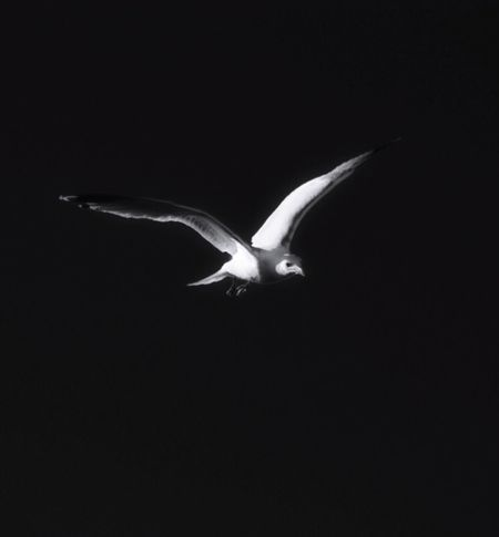 Night Flight Seagull Gull Flying Bird Wings Soaring Up Above Alone In The Dark Bird Bird Photography Birds_collection For The Love Of Photography Outdoors My Unique Style EyeEm Best Edits My Edit Ameturephotography Eyeemphotography Eye4photography  Photography Blackandwhite Photography Blackandwhite