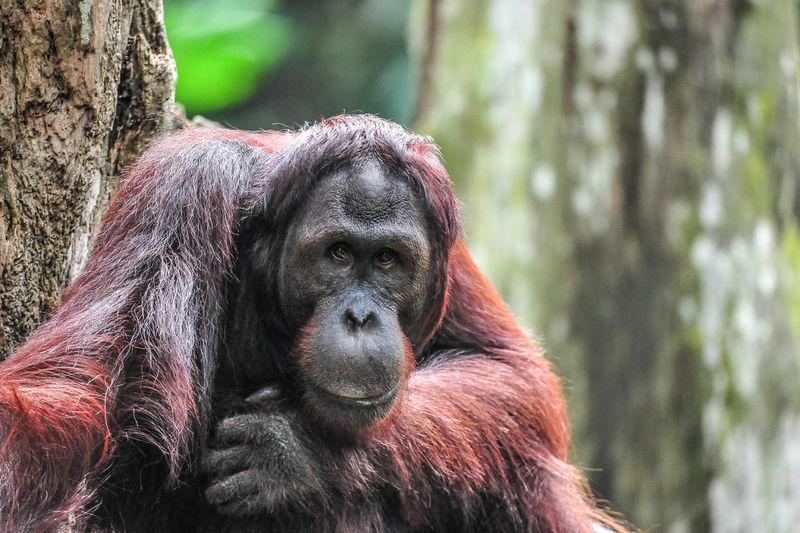 Endangered orang utan Ape Close-up Friendly Mammal Monkey Orang Utan Outdoors Primate Singapore Wild Wildlife