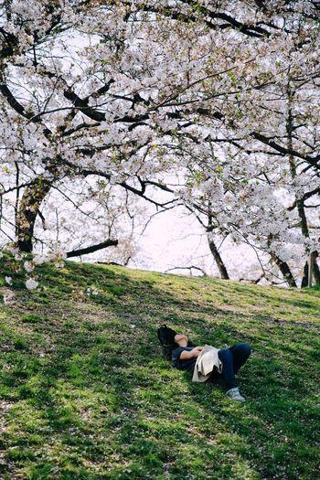 Take a nap Relaxing Sakura Sakura Blossom Sleeping