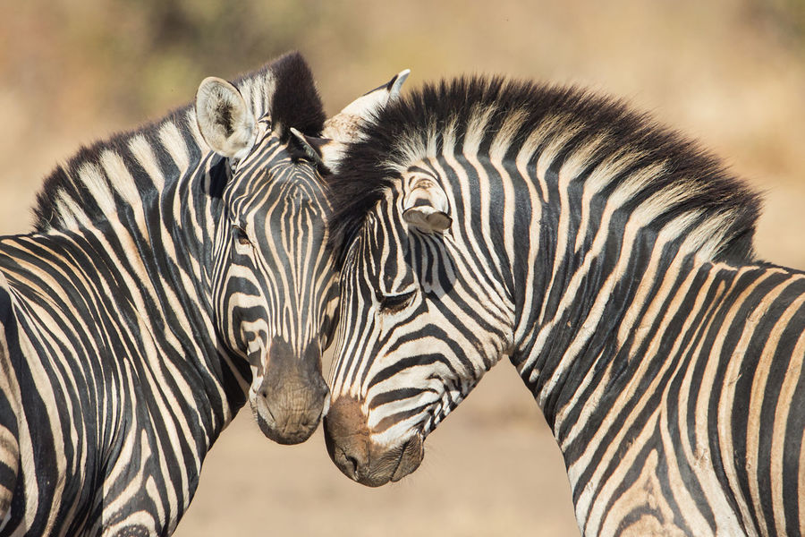 Cuddles between two zebras (Equus quagga), Kruger Park, South Africa Affection Africa Animals Black Black And White Close-up Closeup Couple Cuddles Equus Quagga Herbivore Kruger Kruger Park Krüger Nationalpark Love Mammals Mpumalanga Nature Safari Savanna Savannah South Africa Two Animals White Wildlife