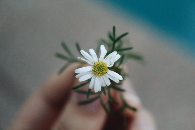 Spring Flowering Plant Flower Plant Fragility Vulnerability  Freshness Beauty In Nature Close-up White Color Nature Flower Head Petal Growth Pollen Hand