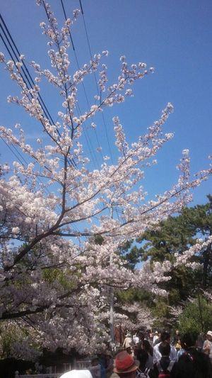 Fiowers cherry blossoms 夙川駅 Nishinomiya