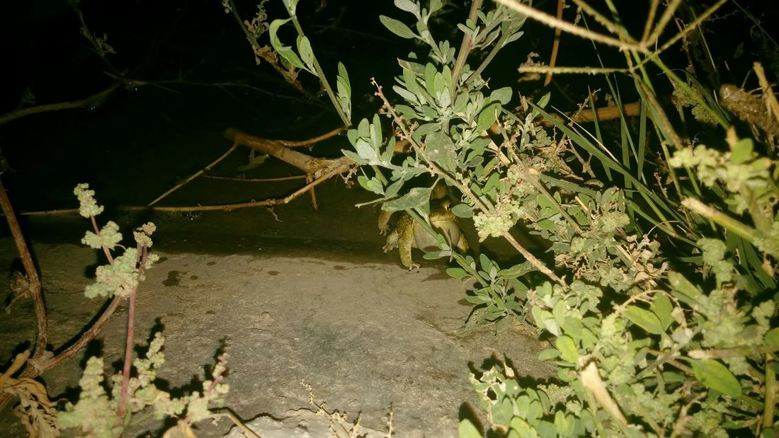 Frogs were Whisteling and creating loud sound in darkness of night. Seemed it was Nature Call Frogs Bladder