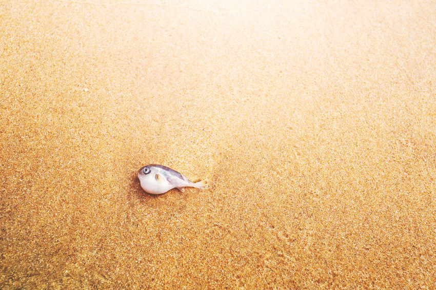 Animal Animal Themes Animals In The Wild Beach Close-up Day Death Environmental Pollution Fish Fisheries Life Marine Life Nature No People One Animal Outdoors Sand Sea Stranded Water Water Resources