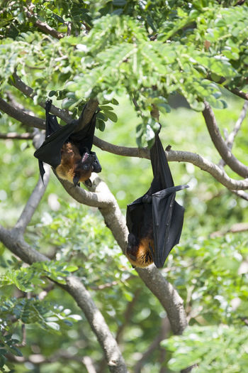 Foxbats in Thailand ASIA Bat Thailand Animal Themes Animals In The Wild Bat - Animal Bird Black Color Branch Day Fox Fox Bat Foxbaby Fruit Hanging Low Angle View Mammal Nature No People One Animal Outdoors Rare Tree