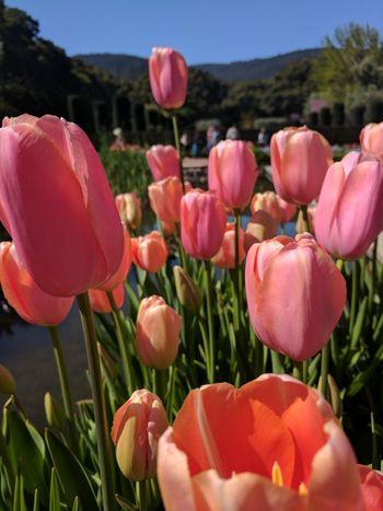 Tulips Flower Pink Color Flower Head Tulip Close-up Outdoors Freshness Filoli Garden