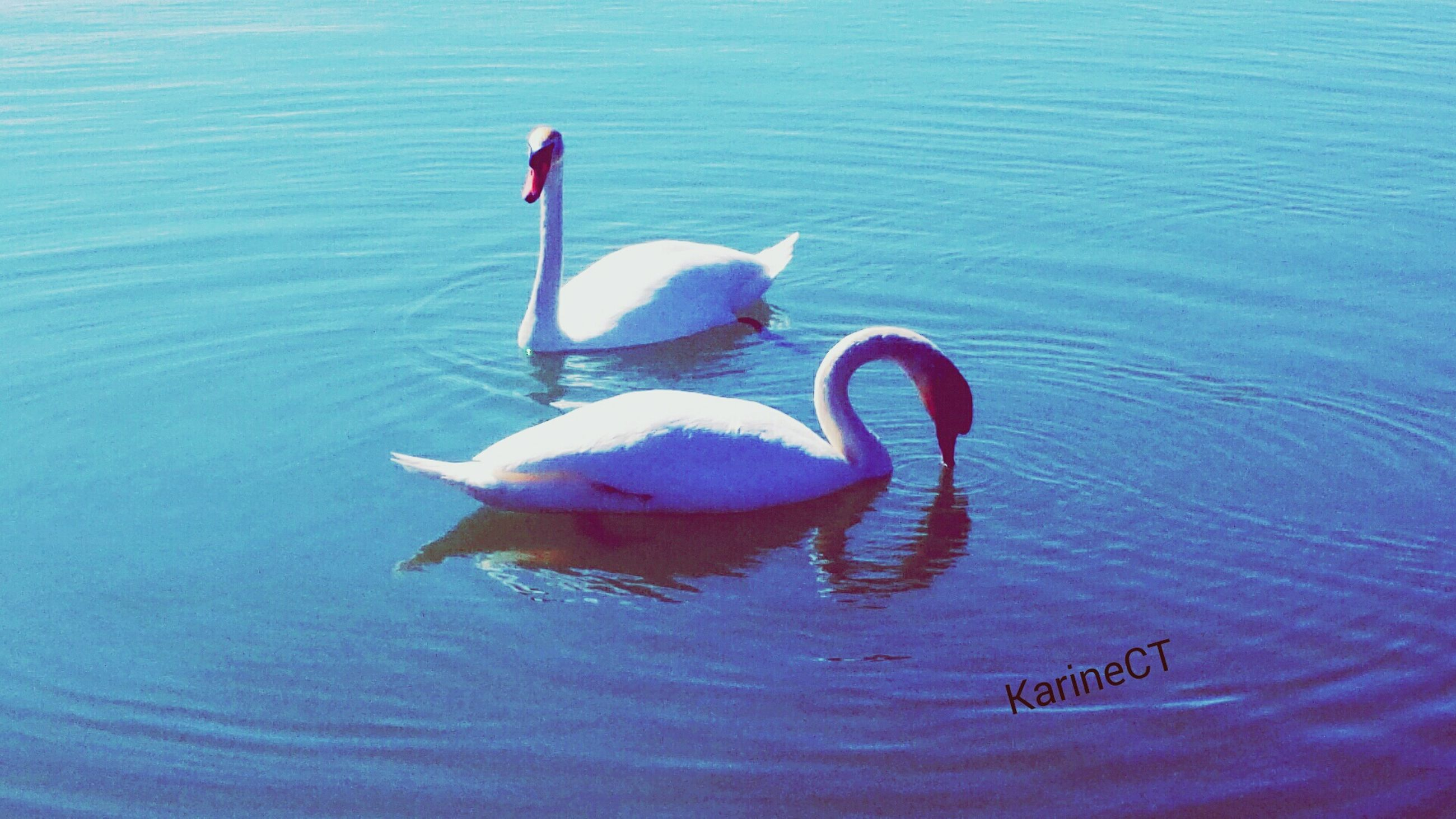 water, bird, swan, animal themes, lake, animals in the wild, swimming, wildlife, waterfront, rippled, reflection, nature, floating on water, water bird, one animal, beauty in nature, beak, flamingo, outdoors, day