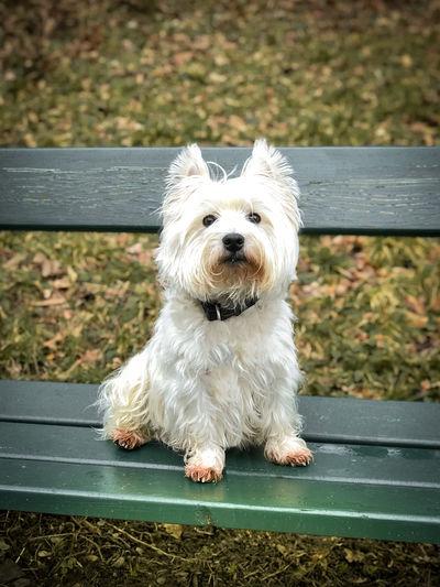 Portrait of white dog sitting on bench