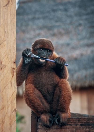 Close-up of monkey sitting on wood chewing a brush