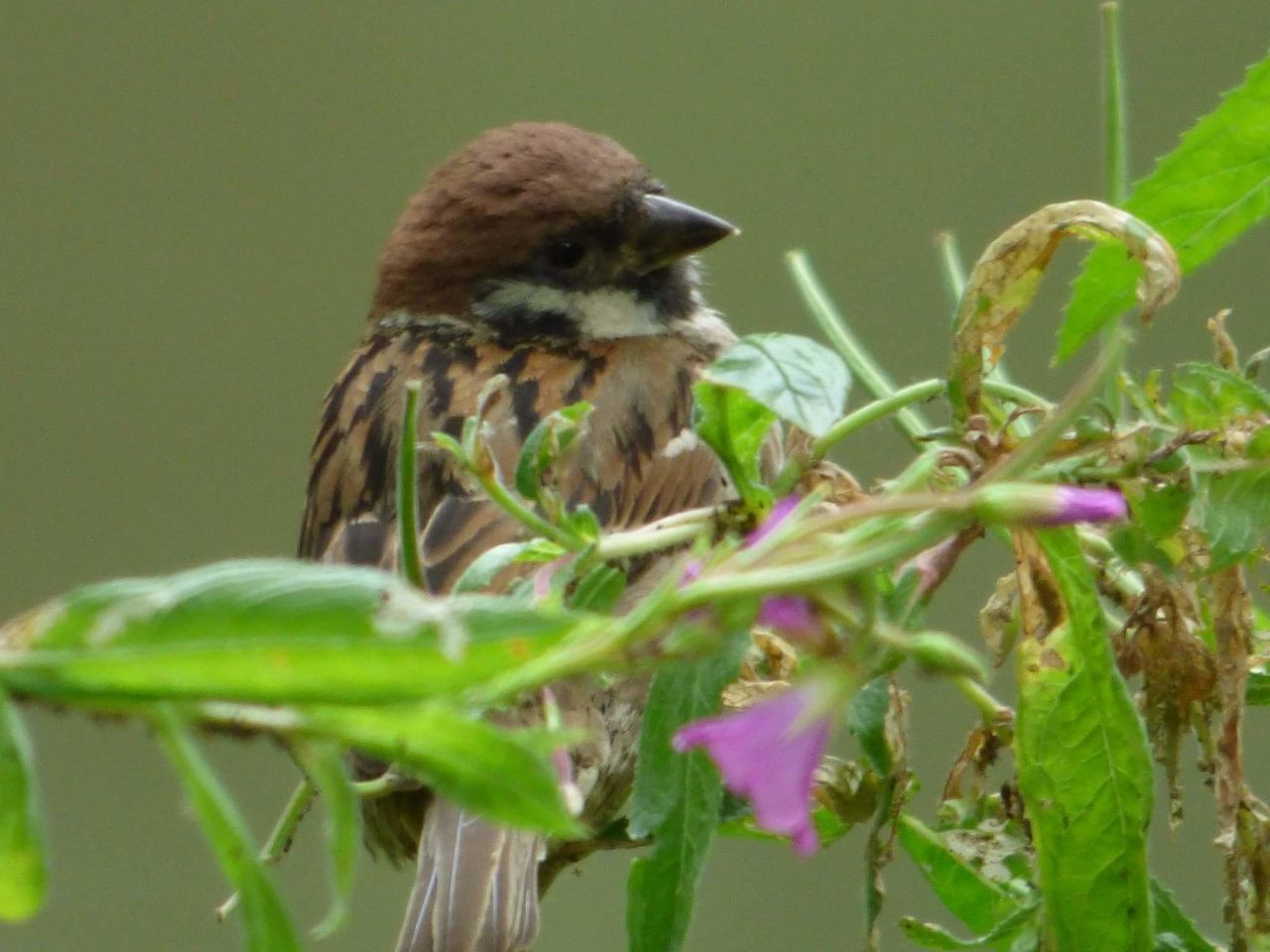 animal themes, animals in the wild, bird, one animal, animal wildlife, leaf, nature, plant, day, flower, no people, green color, growth, close-up, outdoors, perching, sparrow