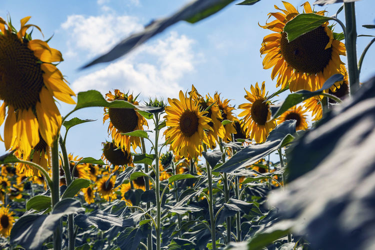 Flower Flowering Plant Yellow Plant Fragility Vulnerability  Freshness Growth Beauty In Nature Petal Flower Head Nature Inflorescence Close-up Sky Day Sunflower Coneflower No People Outdoors Pollen Wildflower Botany