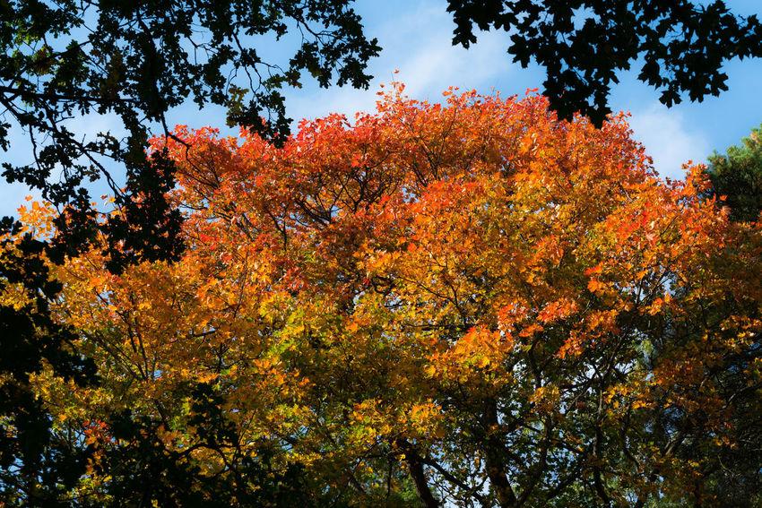 Autumn Collection Autumn Colors Colours Nature Nature Photography Autumn Autumn 2017 Autumn🍁🍁🍁 Beauty In Nature Maple Tree Nature Orange Color Tree