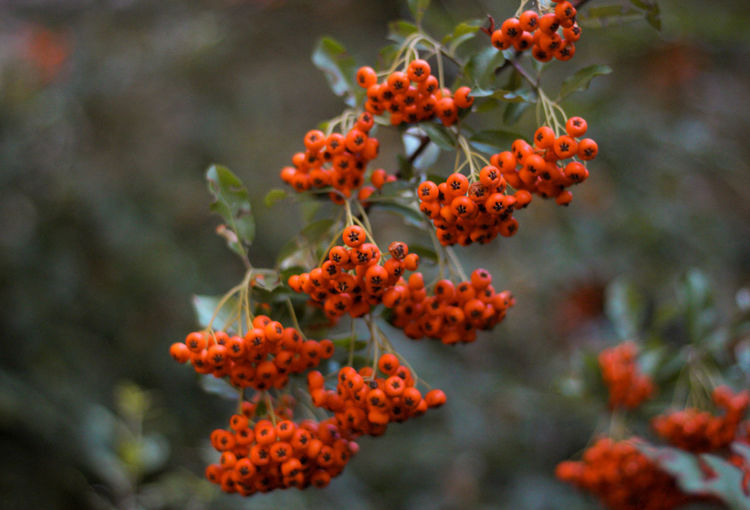Close-up of red rowan berries on plant