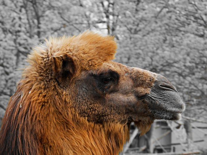 Animal Themes One Animal Animal Mammal Close-up Brown Animal Wildlife Focus On Foreground Animals In The Wild No People Animal Head  Animal Body Part Nature Outdoors Portrait Camel