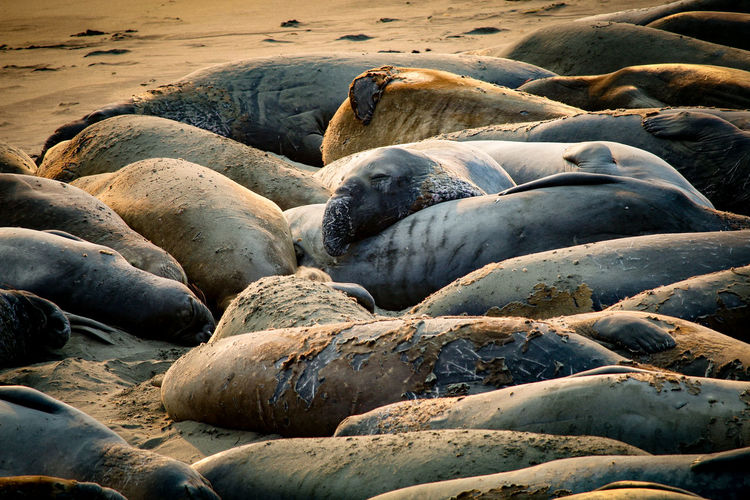 Animal Themes Animal Wildlife Animals In The Wild Aquatic Mammal Beach Beauty In Nature Close-up Colony Day Large Group Of Animals Mammal Nature No People Outdoors Relaxation Resting Rock - Object Sand Sea Sea Life Sea Lion Seal - Animal