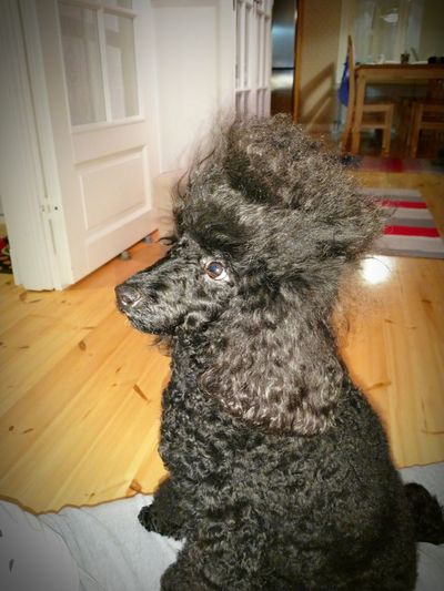 Dog Pets Domestic Animals One Animal Door Animal Themes Mammal Indoors  No People Day Close-up Poodle