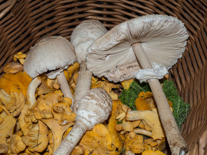Mycelia Chanterelle Mushrooms Food And Drink Macrolepiota Procera Meal Mushrooms Natural Vegetarian Vegetarian Food Cantharellus Cibarius Chanterelle Close Up Condiment Eatable Food Food And Drink Forest Life Mushroom Mushroom Collection Mycelium No People Nourishment Nutrition Parasol Parasol Mushrooms