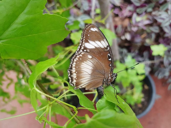 butterfly Perching Full Length Leaf Butterfly - Insect Insect Close-up Animal Themes Plant Butterfly