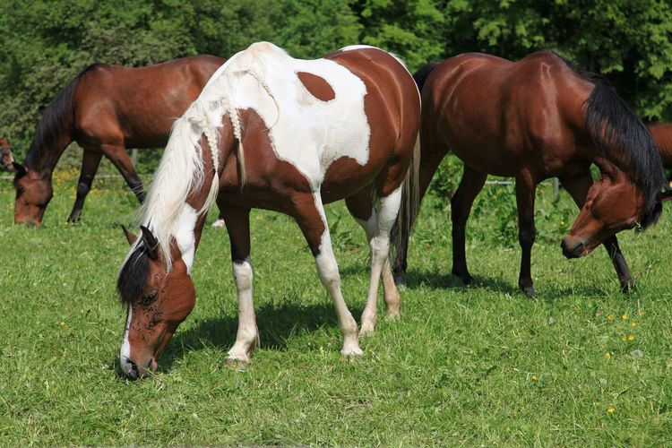 Three horses grazing on a meadow Pasture Agriculture Animal Animal Family Animal Themes Animal Wildlife Day Domestic Domestic Animals Field Grass Grazing Group Of Animals Herbivorous Herd Horse Land Livestock Mammal Nature No People Outdoors Pets Plant Ranch