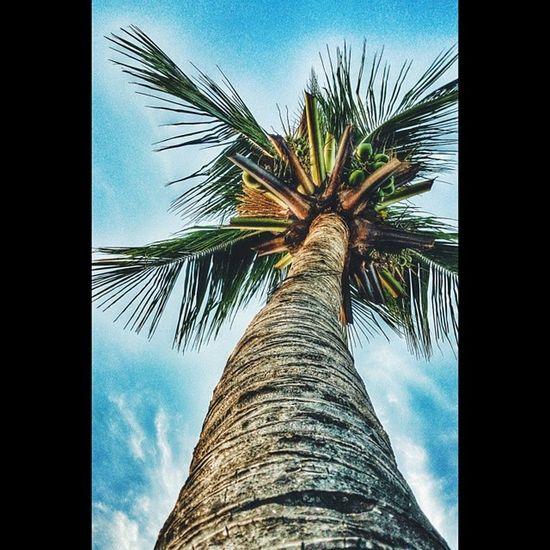Coconut tree. // Every great things comes from the least one. // VSCO Vscocam VSCOPH Vsco_images Vscovisuals Vsconature Vscogang Vscostyle Vsco_best Vsco_lover Vscoviewer Vsco_masters Vscohub Vscobest Vsco_hub Vscogood LitratongPinoy Wearefuntasticphilippines Xperiaz