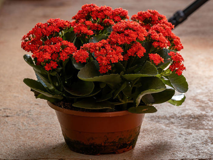 Close-up of red flower pot on table